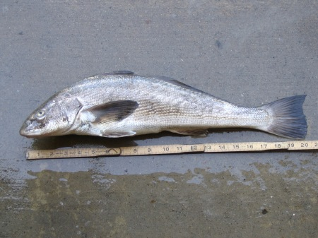 A corbina, probably regretting some of its more recent life choices.